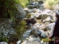 karabao-w-czasie-kapieli-w-rzece-philippines